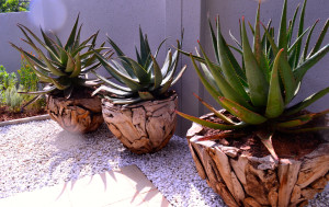 Indigenous Aloe's